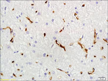 VEGF-A staining in rat brain. Paraffin-embedded rat brain is stained with VEGF-A Antibody (Cat. No. 251675) used at 1:200 dilution.
